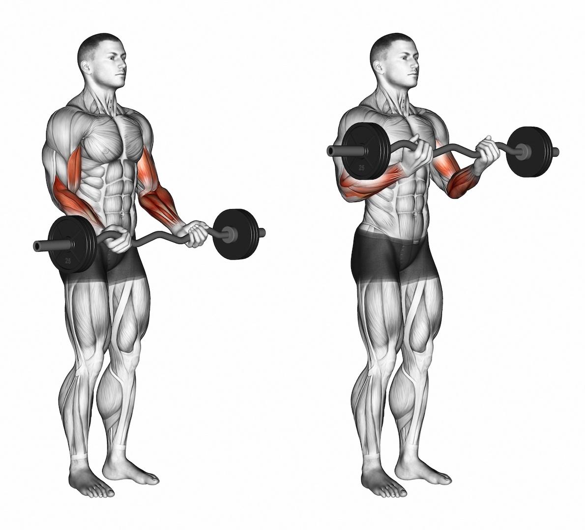 Мышцы, работающие при выполнении подъёма штанги на бицепс.