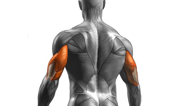 Анатомия трицепсов - трёхглавой мышцы плеча.