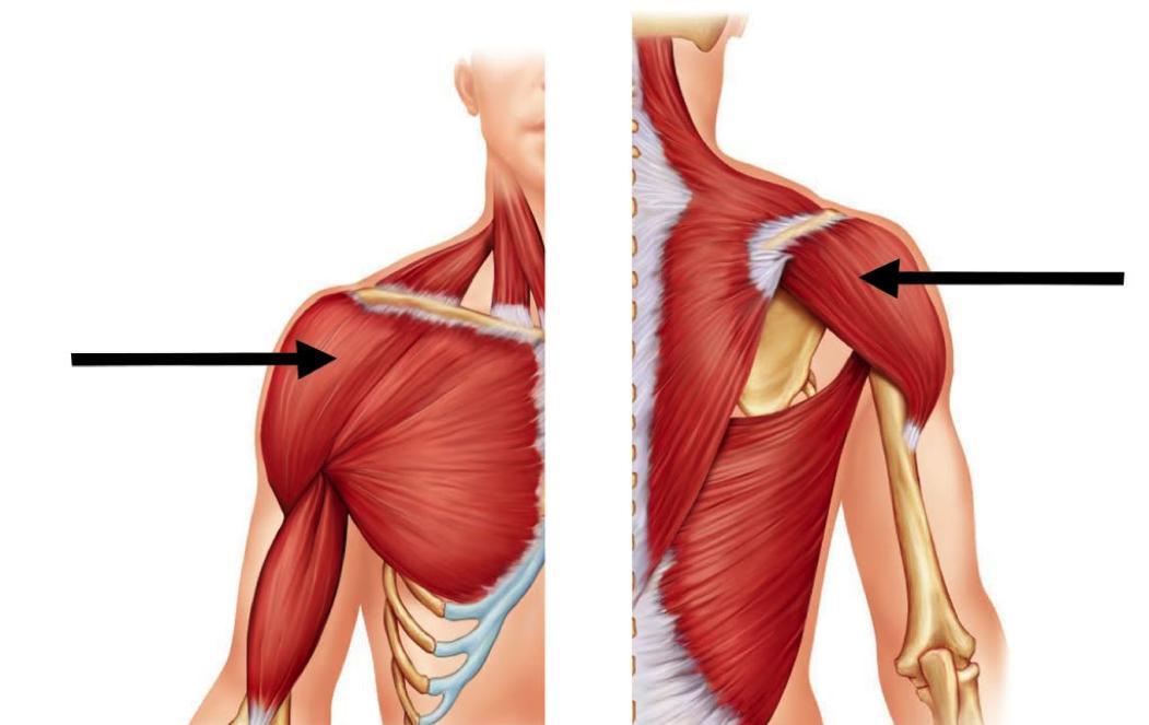 Проработка дельтовидных мышц при разведении гантелей.