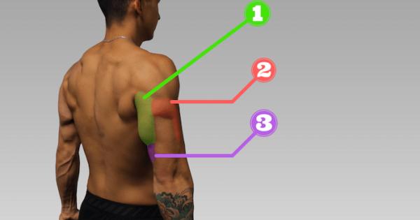 Анатомия трёхглавой мышцы плеча - трицепсов.