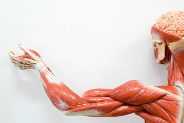Анатомия всех мышечных групп рук.