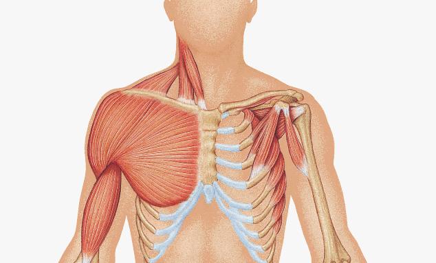 Красные волокна грудных мышц.