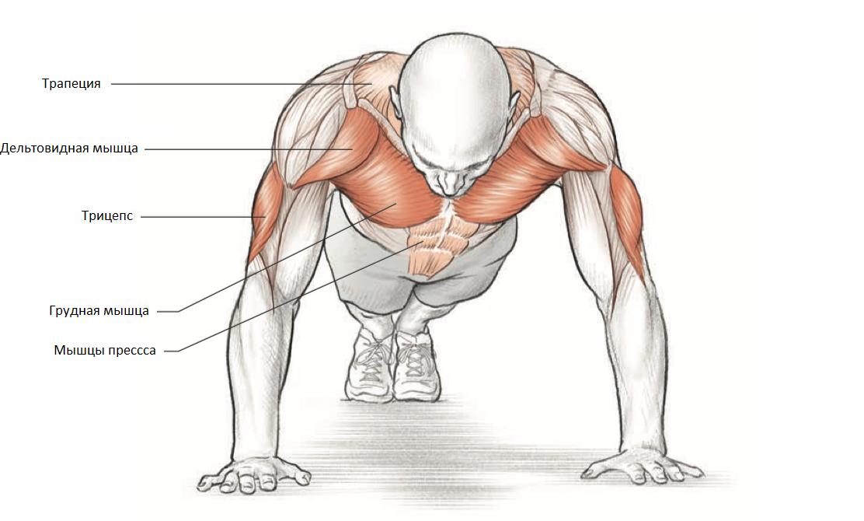 Какие мышцы работают при отжиманиях.