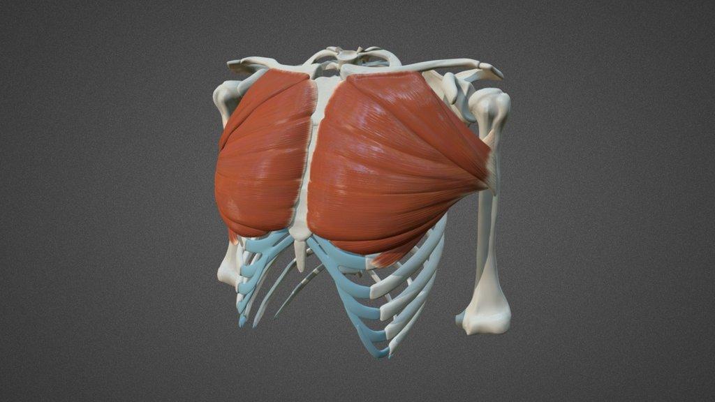 Анатомия грудных мышц.